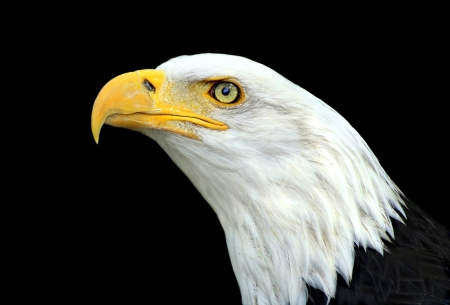 Bald eagle portrait on a black background photo