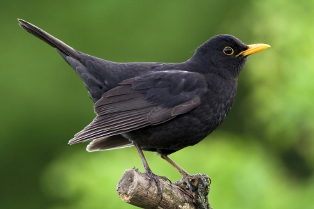 Beautiful blackbird sitting on the branch photo