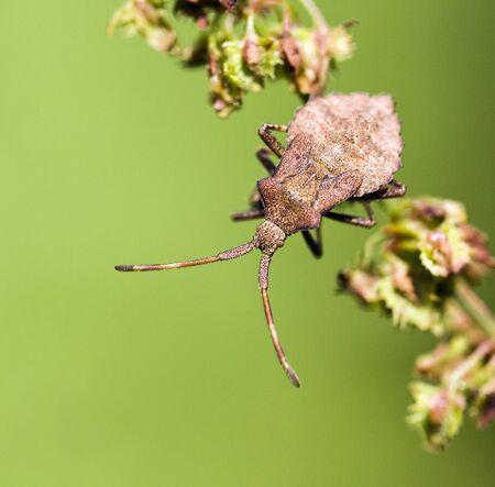 squash bug: Brown bedbug relaxing Stock Photo