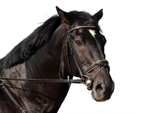 caballo negro: Hermoso retrato aislado caballo negro