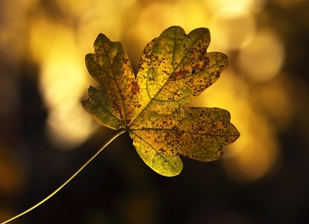 Maple leave in Autumn color (Acer Campestre) photo