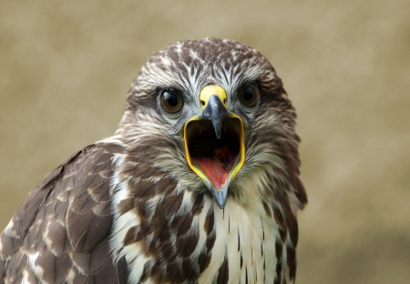 Shrieking buzzard portrait Stock Photo - 14019793