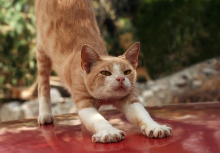Red cat stretching photo