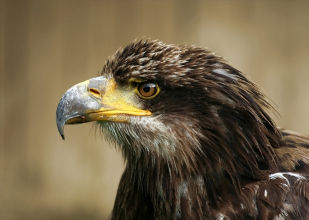 A young Bald eagle portrait photo