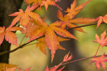 Beautiful maple tree leaves in Autumn photo
