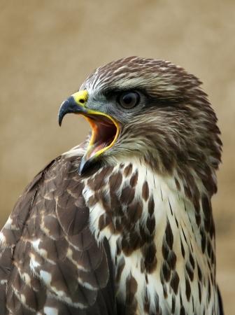 Screeching buzzard portrait photo