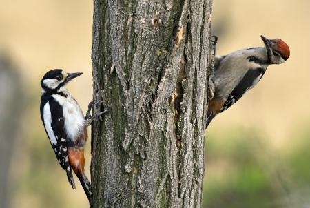 Two young woodpecker looking for insects Stock Photo - 14233617