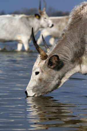 Hungarian grey cattle drinking from the river photo