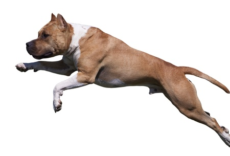 american staffordshire terrier: Isolata American Staffordshire Terrier dog salto Archivio Fotografico