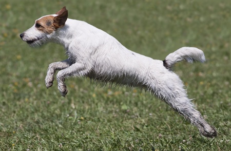 Cute jumping Jack Russel Terrier photo
