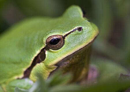principe rana: Un pequeño retrato rana verde