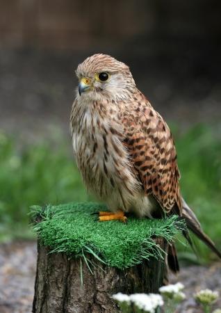 座っているかわいい若いチョウゲンボウ