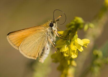 skipper: Safflower Skipper (Pyrgus carthami) on a yellow flower