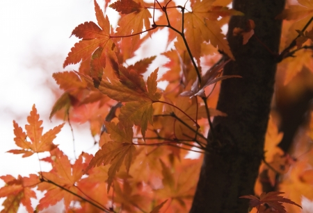 Beautiful red maple leaves in Autumn photo