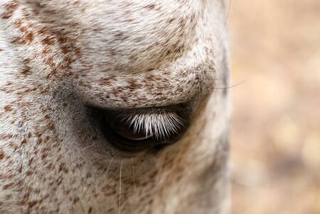 Beautiful sad horse eye with white eyelashes photo