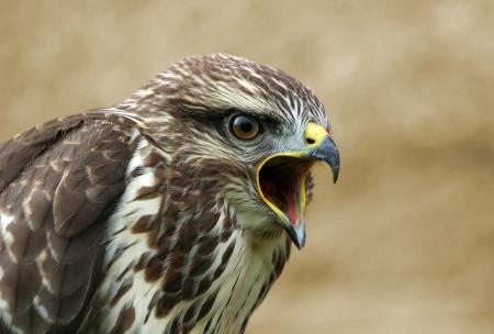 buzzard: Screaming buzzard portrait