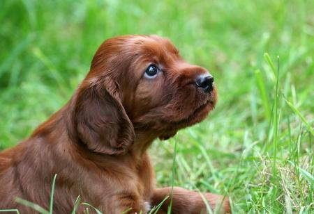 アイリッシュ セッターのかわいい子犬 写真素材 - 14531508