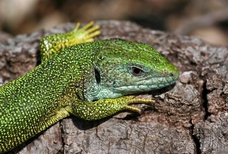 bilineata: European green lizard - Lacerta viridis