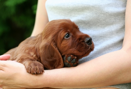 Cute Irish Setter puppy looking  photo