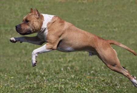 staffordshire: American Staffordshire Terrier dog jumping in the grass