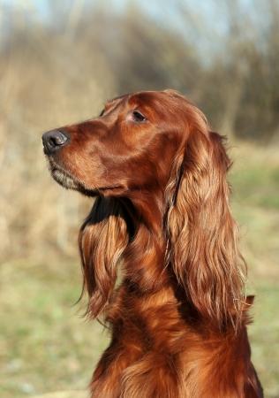 Beautiful long ear Irish Setter portrait photo
