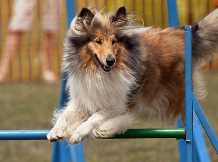 obedience: Collie salto en competici�n de la agilidad Foto de archivo