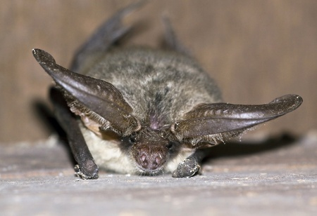 A young bat lying on the beam photo