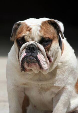 morose: Morose English Bulldog portrait Stock Photo