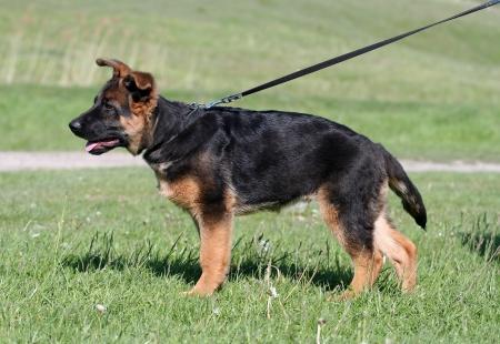 German Shepherd puppy in standard pose Stock Photo - 15733182