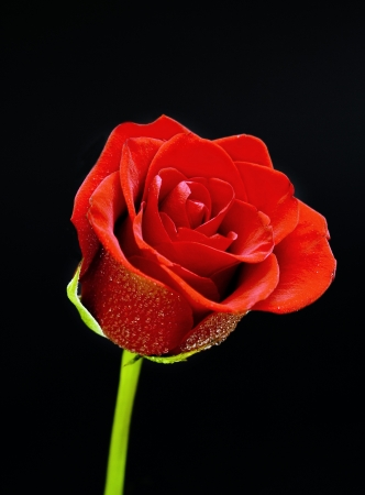Red rose on a black background photo
