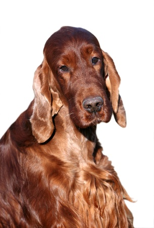 Irish Setter male looking at the camera photo