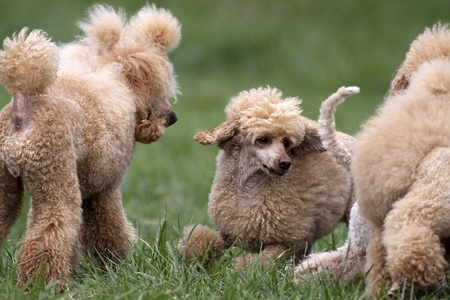 Apricot poodles playing in the grass photo