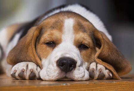 cute dog: Young sleepy beagle puppy lying on the wood Stock Photo