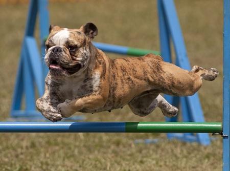 dogs play: Jumping english bulldog