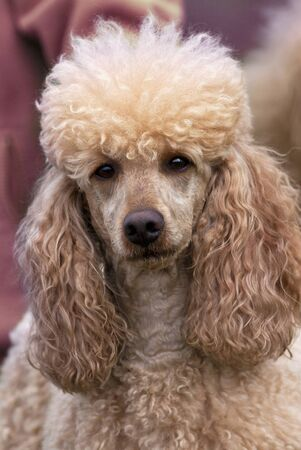 Poodle female portrait photo