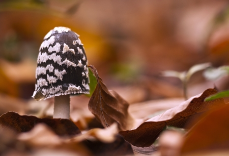 Magpie Fungus mushroom in the Autumn wood photo