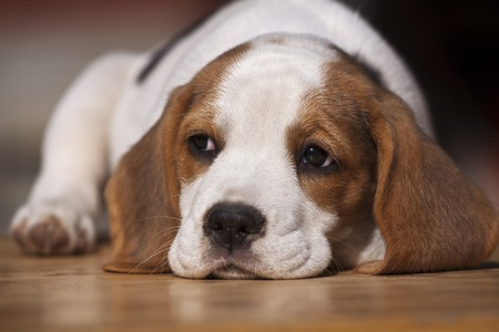 Cute beagle puppy lying on the wood photo