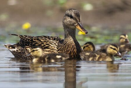 Mother duck with newborn chicks  photo
