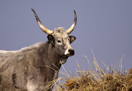 Hungarian Grey cattle looking photo