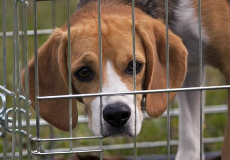 Young beagle looking from the cage photo