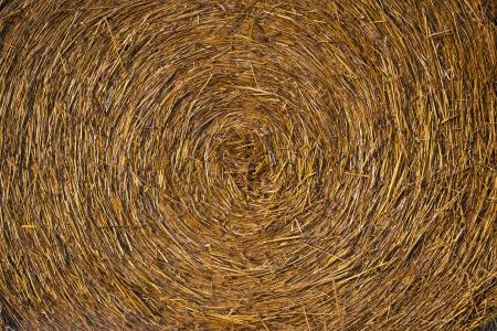 ruminants: Bale golden straw texture ruminants animal food background