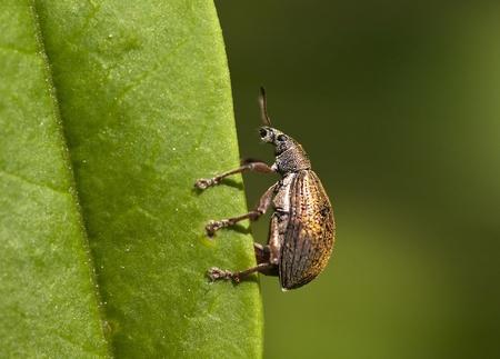 curculionidae: Weevil beetle sitting on a green leaf  Curculionidae