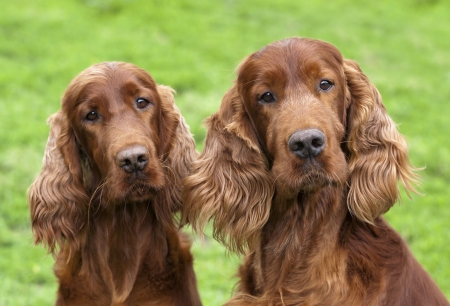 Curious Irish Setter pair looking at the camera photo