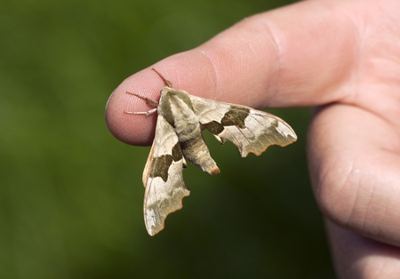 Lime Hawk-moth butterfly  Mimas tiliae  sitting on a finger Stock Photo - 19507140