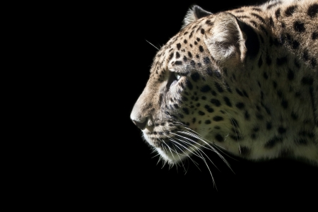 Beautiful leopard portrait on a black background photo
