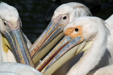Three Pelicans close-up portrait  photo