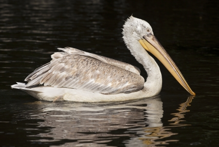 Beautiful Pelican swimming in the water photo