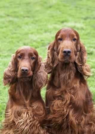 Cute curious Irish Setter pair looking at the camera