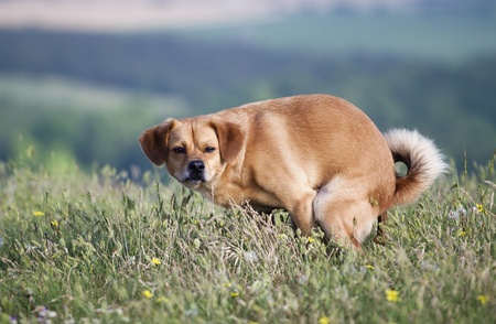 defecate: Funny dog pooping in the grass Stock Photo