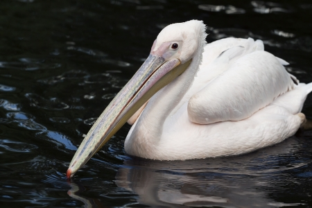 Curious pelican swimming in the water photo